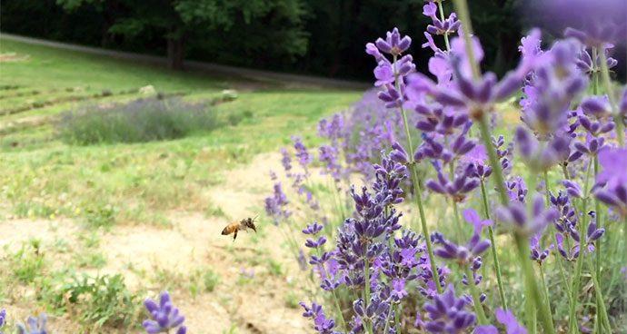 Woolf Lavender Farm – Synergist Media